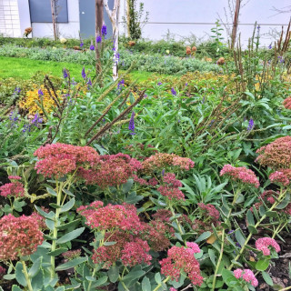 /thumbs/fit-320x320/2017-07::1499952769-sedum.jpg